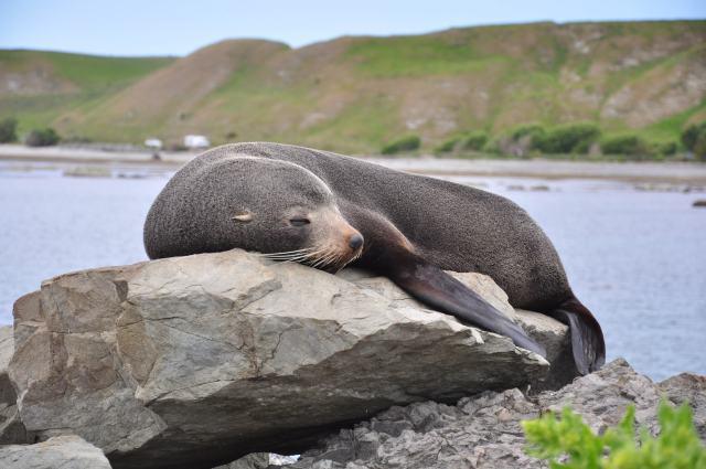 El Lobo marino dormia mansamente